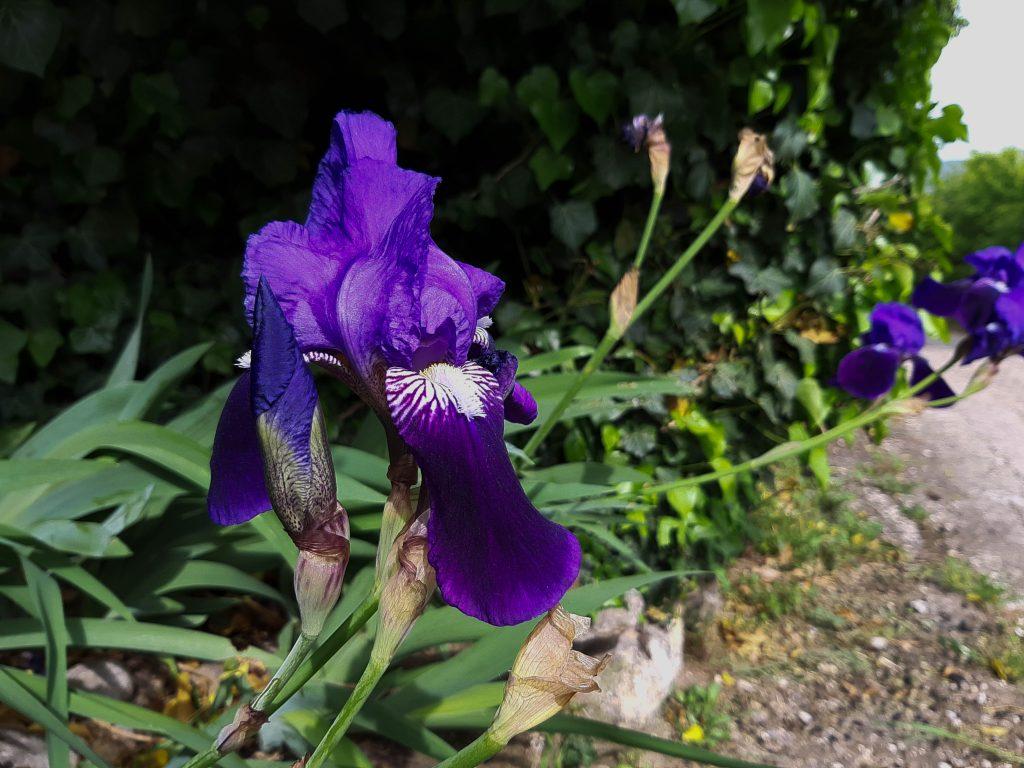 Iris tradizione veronese