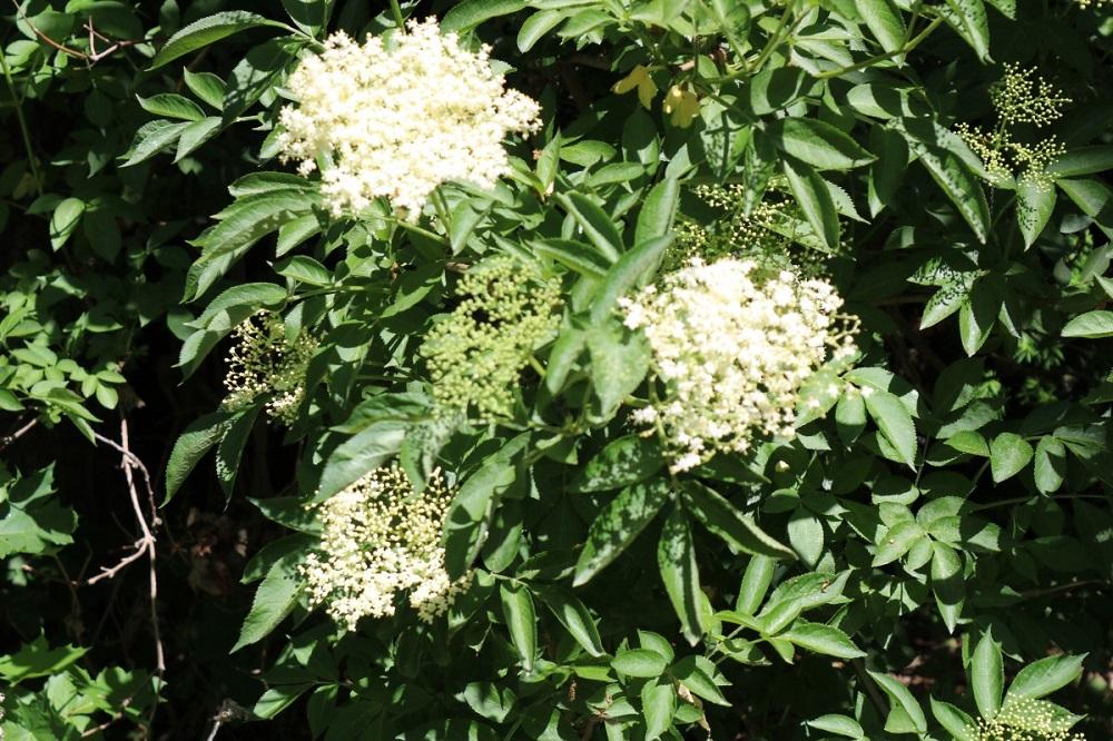 fiori della pianta del sambuco